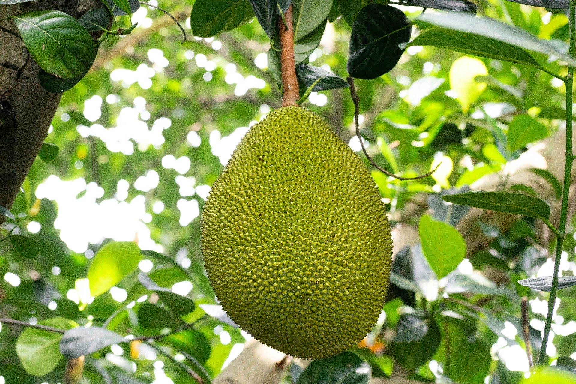 Jackfrucht Jackfruit Fleischalternative