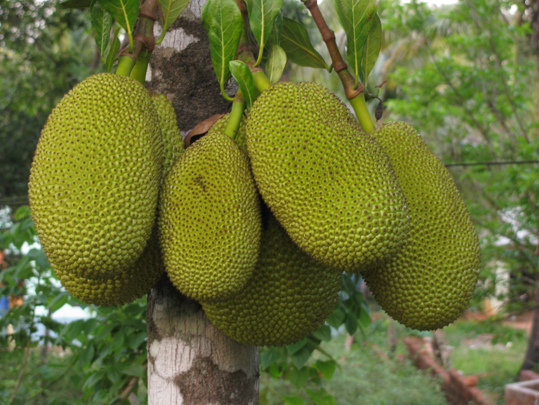 Jackfruit-Jackfrucht-Fleischersatz